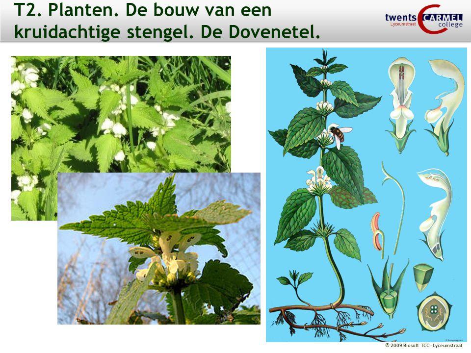 © 2009 Biosoft TCC - Lyceumstraat T2. Planten. De bouw van een kruidachtige stengel. De Dovenetel.