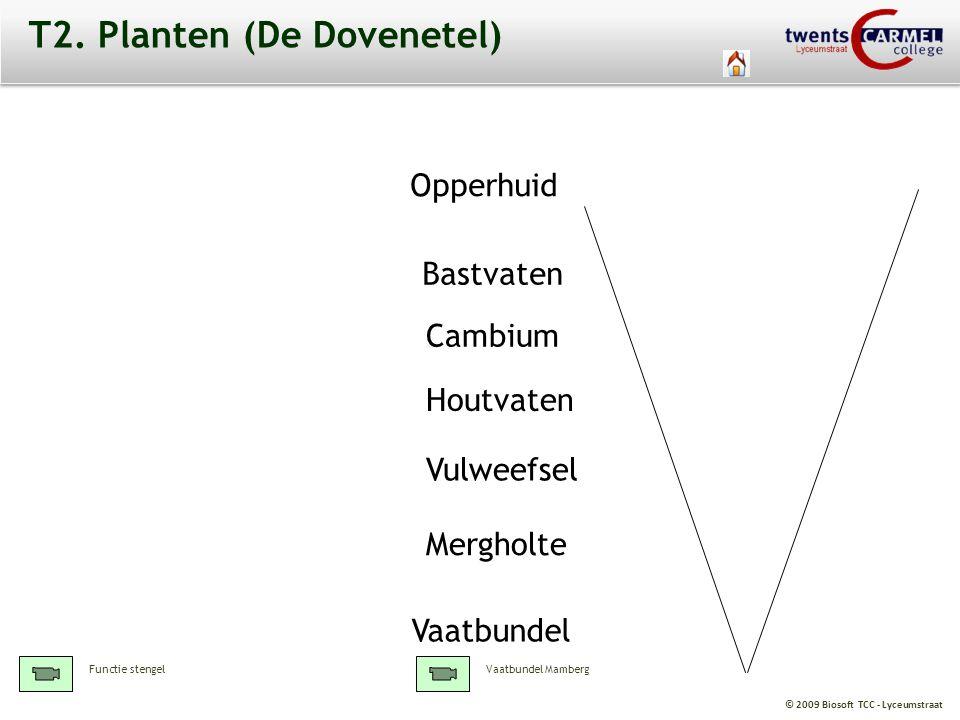 © 2009 Biosoft TCC - Lyceumstraat T2. Planten (De Dovenetel) Opperhuid Mergholte Bastvaten Houtvaten Cambium Vulweefsel Vaatbundel Vaatbundel MambergF