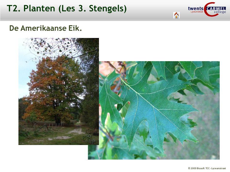 © 2009 Biosoft TCC - Lyceumstraat T2. Planten (Les 3. Stengels) De Amerikaanse Eik.