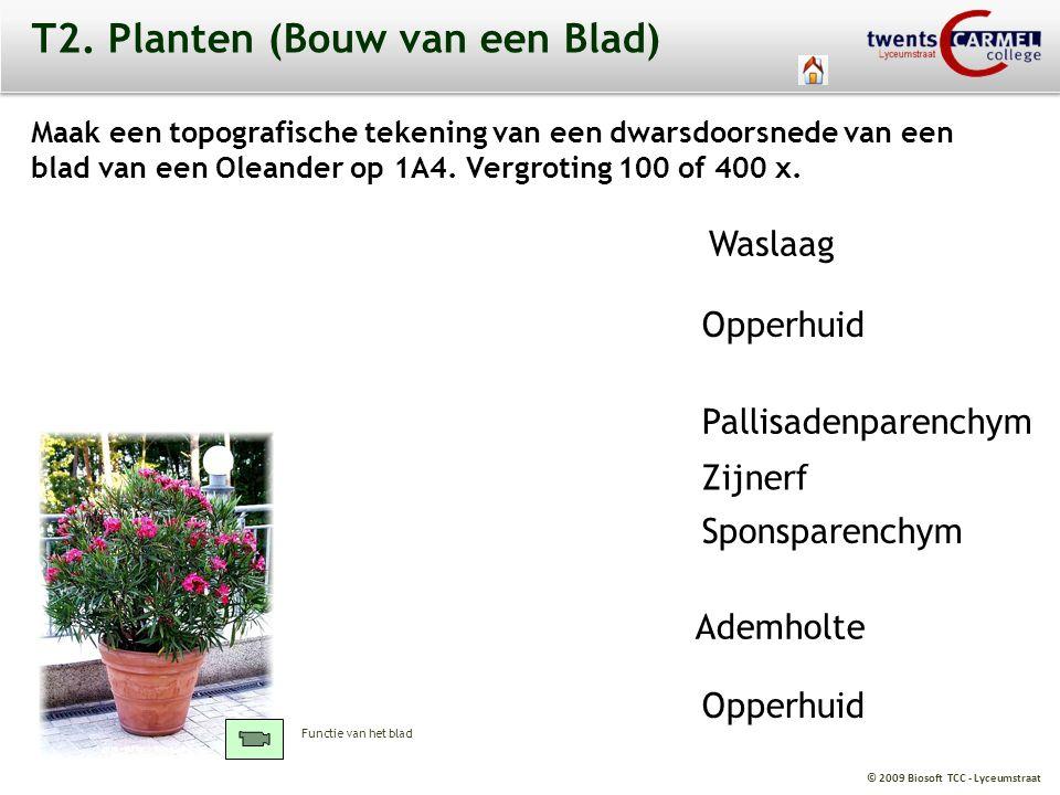© 2009 Biosoft TCC - Lyceumstraat T2. Planten (Bouw van een Blad) Maak een topografische tekening van een dwarsdoorsnede van een blad van een Oleander