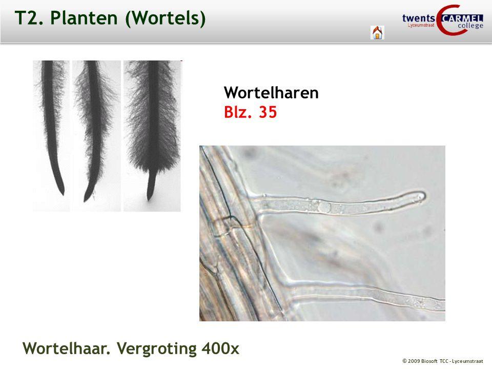© 2009 Biosoft TCC - Lyceumstraat T2. Planten (Wortels) Wortelharen Blz. 35 Wortelhaar. Vergroting 400x