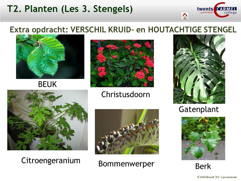 © 2009 Biosoft TCC - Lyceumstraat T2. Planten (Les 3. Stengels) Extra opdracht: VERSCHIL KRUID- en HOUTACHTIGE STENGEL BEUK Christusdoorn Gatenplant C
