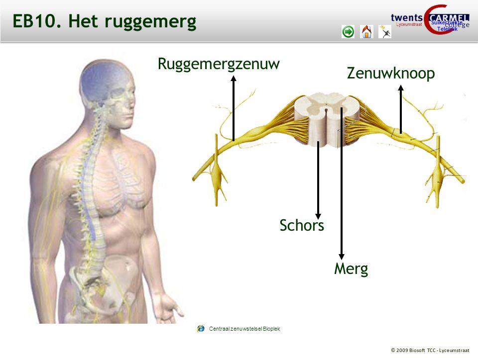 © 2009 Biosoft TCC - Lyceumstraat Suikerziekte Teleblik EB10. Het ruggemerg Schors Merg Ruggemergzenuw Zenuwknoop Centraal zenuwstelsel Bioplek