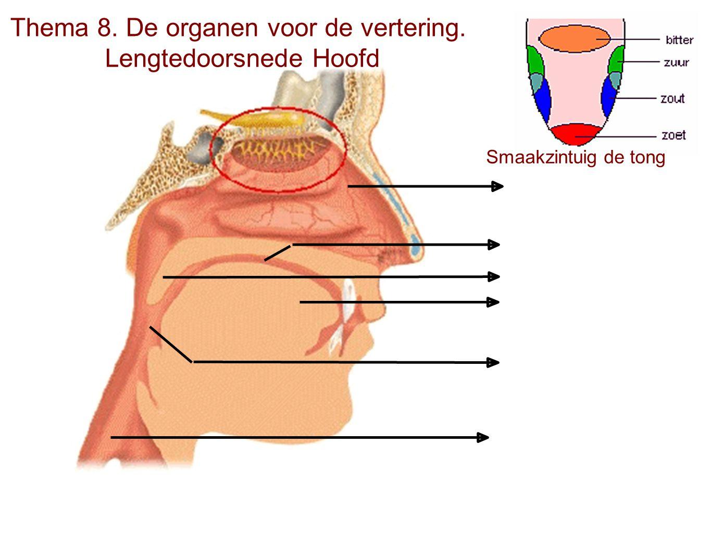 Thema 8. De organen voor de vertering. Lengtedoorsnede Hoofd Smaakzintuig de tong