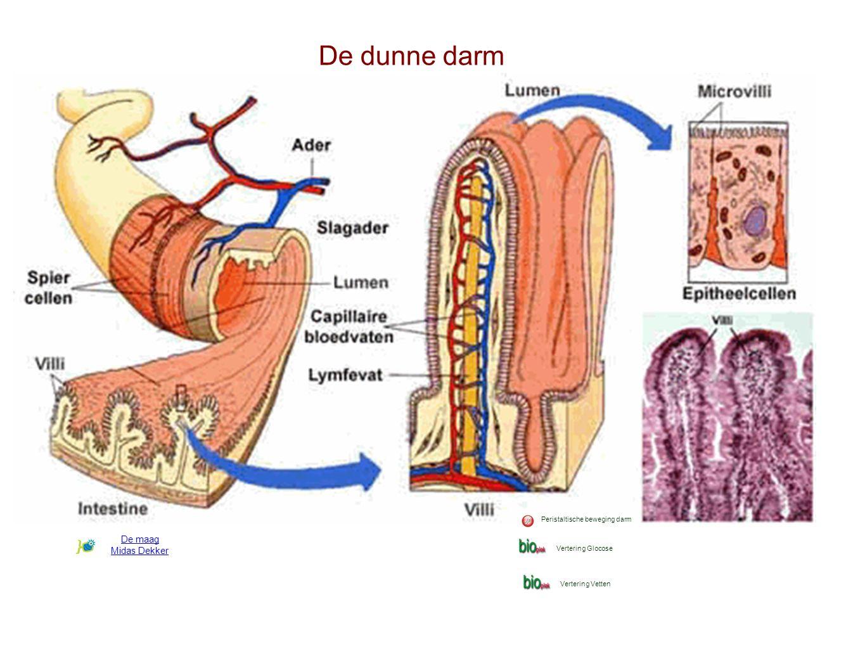 De dunne darm De maag Midas Dekker Peristaltische beweging darm Vertering Glocose Vertering Vetten