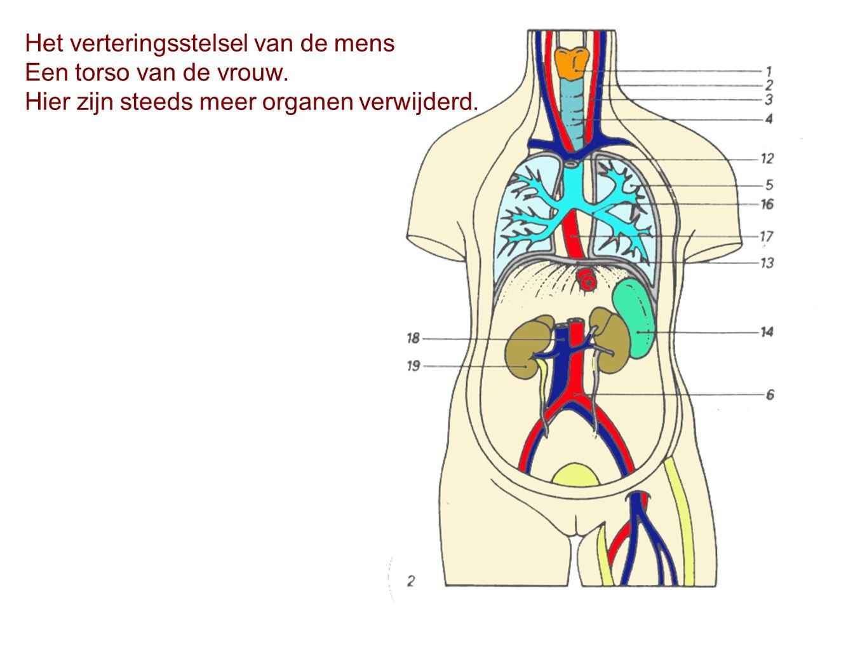 Het verteringsstelsel van de mens Een torso van de vrouw. Hier zijn steeds meer organen verwijderd.