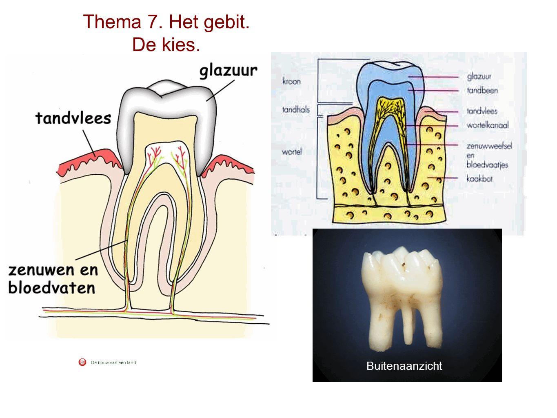 Thema 7. Het gebit. De kies. Buitenaanzicht De bouw van een tand