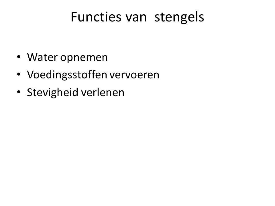 Functies van stengels Water opnemen Voedingsstoffen vervoeren Stevigheid verlenen