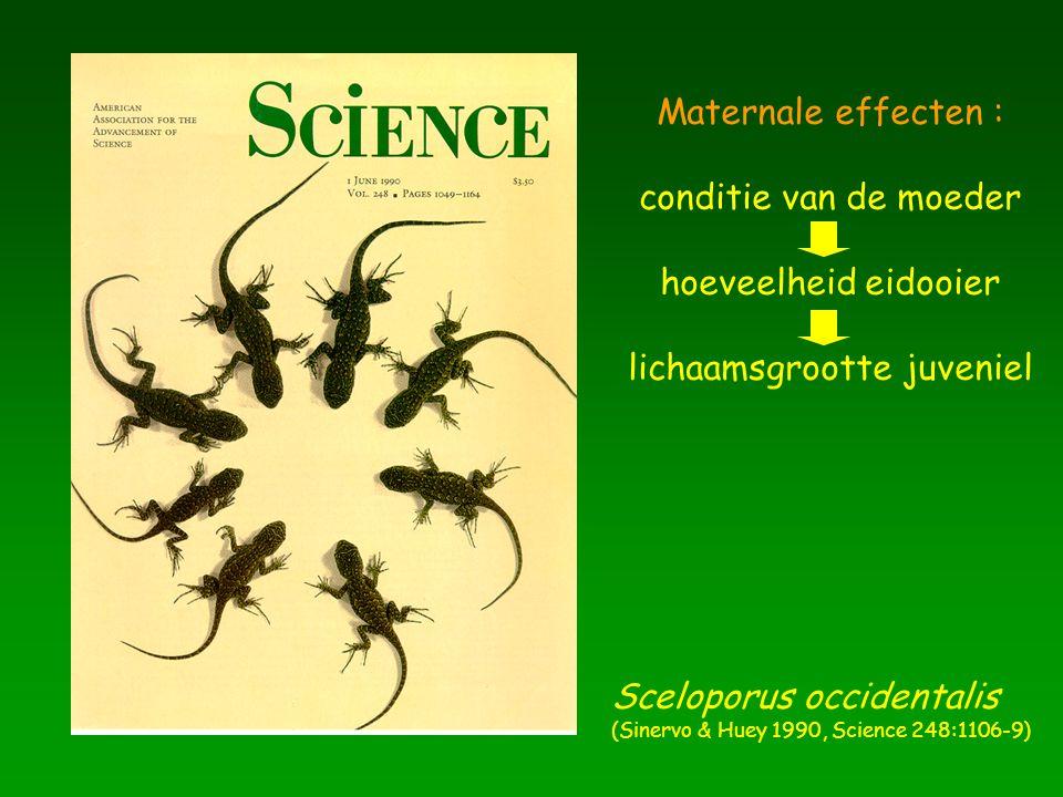 Maternale effecten : conditie van de moeder hoeveelheid eidooier lichaamsgrootte juveniel Sceloporus occidentalis (Sinervo & Huey 1990, Science 248:11