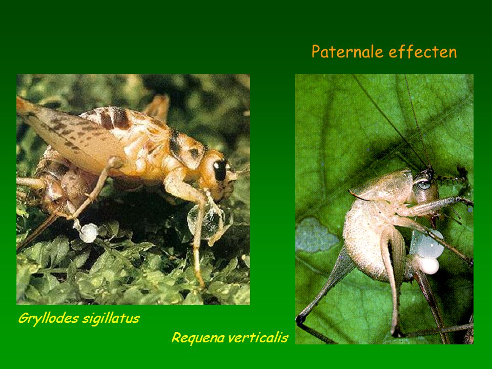 Agelenopsis aperta Generatie PF1F2 Latentietijd (s) 0 20 40 60 rivieroever grasland Ann Hedrick & Susan Riechert