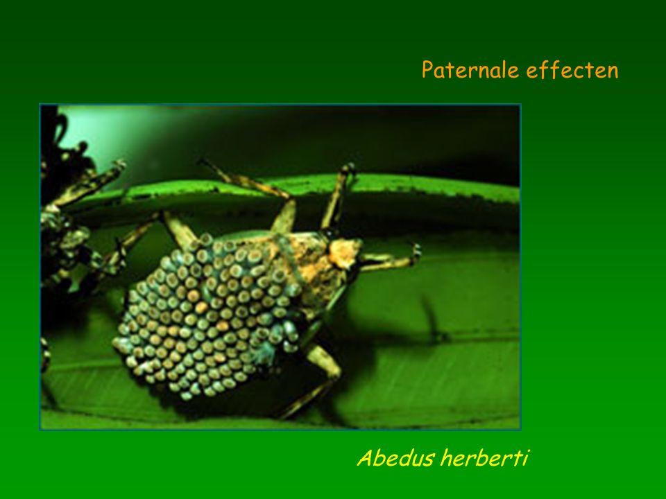 Hippocampus breviceps Paternale effecten