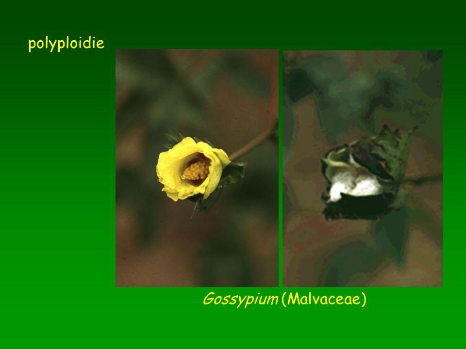 polyploidie Gossypium (Malvaceae)