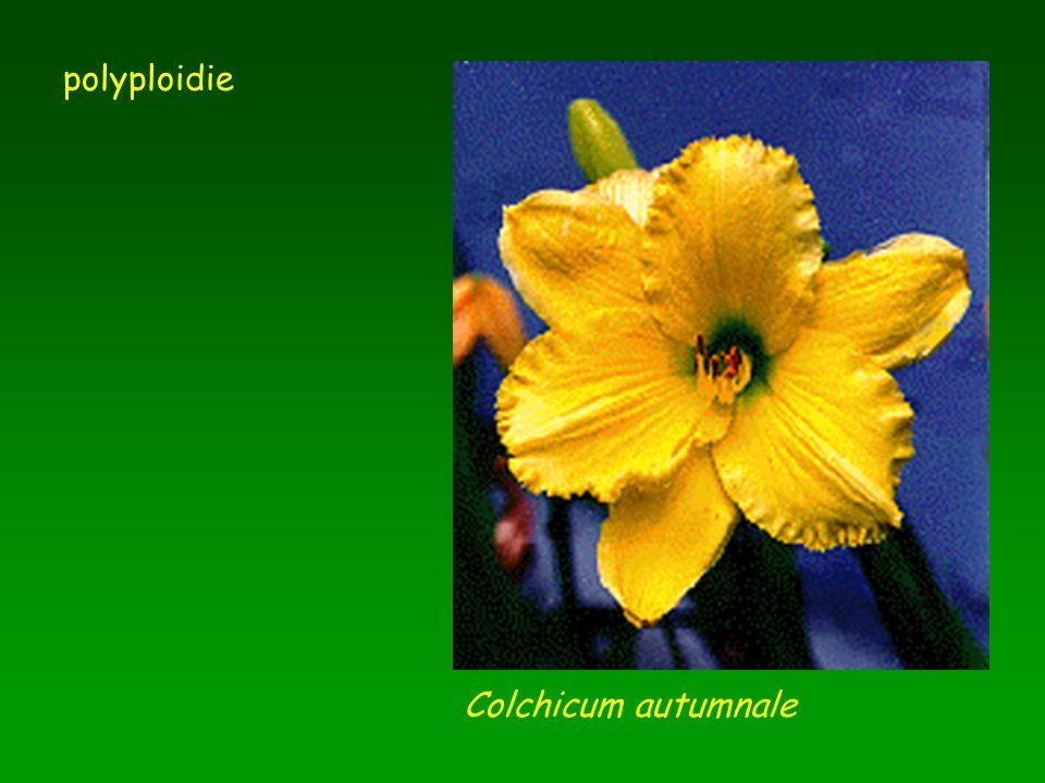 polyploidie Colchicum autumnale