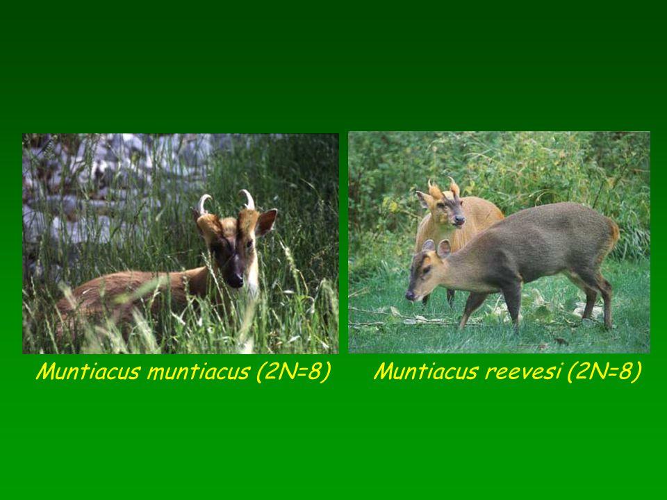 Muntiacus muntiacus (2N=8) Muntiacus reevesi (2N=8)