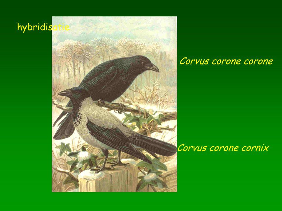 Corvus corone corone Corvus corone cornix hybridisatie