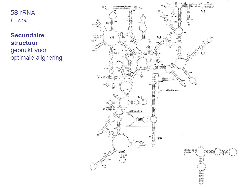 5S rRNA E. coli Secundaire structuur gebruikt voor optimale alignering