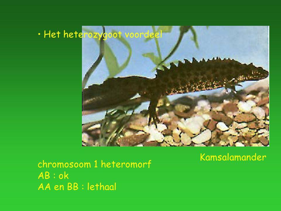 chromosoom 1 heteromorf AB : ok AA en BB : lethaal Kamsalamander Het heterozygoot voordeel