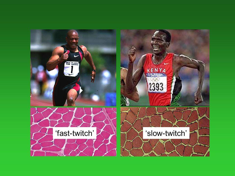'fast-twitch''slow-twitch'