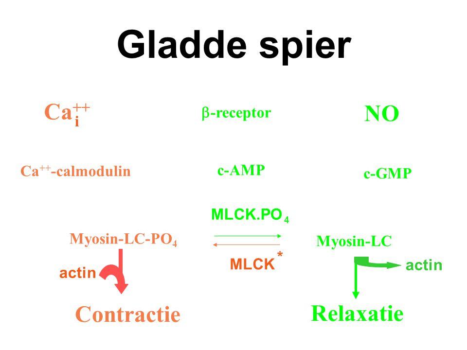 Gladde spier Contractie Relaxatie Myosin-LC Myosin-LC-PO 4 c-GMP NO Ca ++ -calmodulin Ca ++  -receptor c-AMP actin MLCK * MLCK.PO 4 i actin