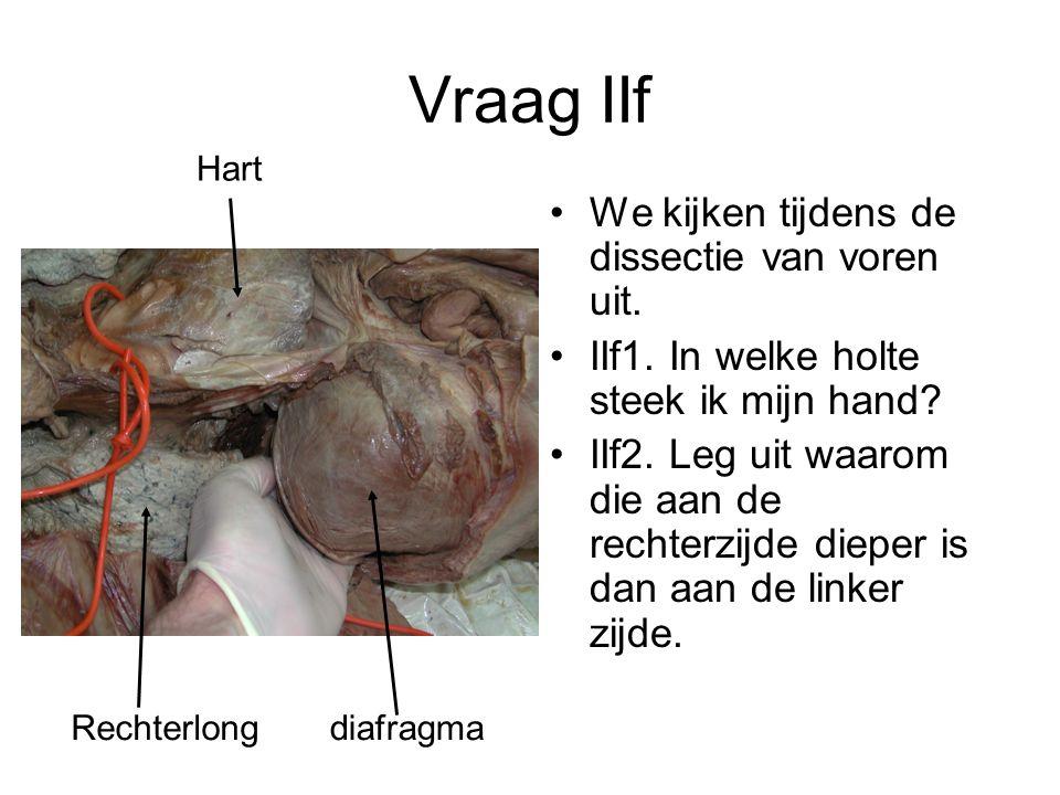 Vraag IIf We kijken tijdens de dissectie van voren uit. IIf1. In welke holte steek ik mijn hand? IIf2. Leg uit waarom die aan de rechterzijde dieper i