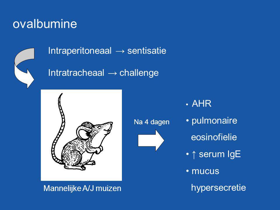 ovalbumine Intraperitoneaal → sentisatie Intratracheaal → challenge Mannelijke A/J muizen AHR pulmonaire eosinofielie ↑ serum IgE mucus hypersecretie