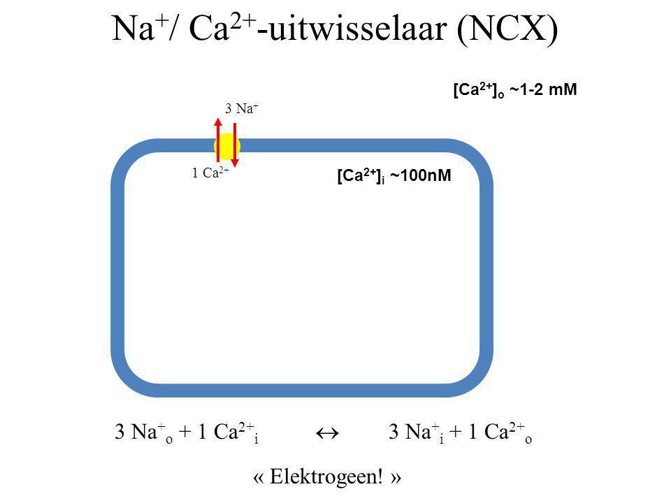 Na + / Ca 2+ -uitwisselaar (NCX) [Ca 2+ ] o ~1-2 mM [Ca 2+ ] i ~100nM 1 Ca 2+ 3 Na + 3 Na + o + 1 Ca 2+ i  3 Na + i + 1 Ca 2+ o « Elektrogeen! »