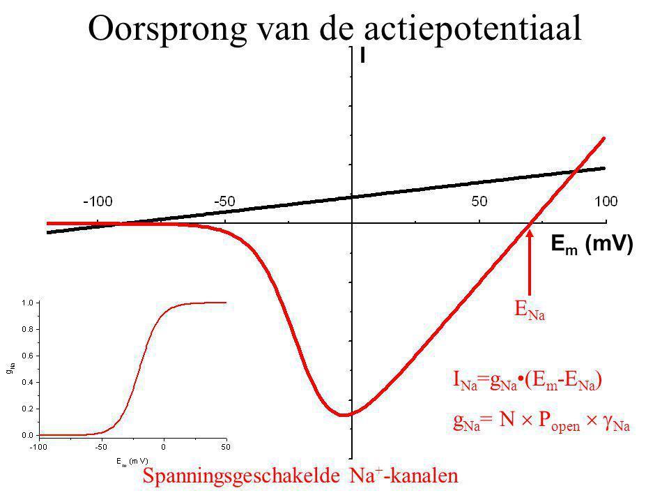 E Na I Na =g Na(E m -E Na ) g Na = N  P open   Na Oorsprong van de actiepotentiaal Spanningsgeschakelde Na + -kanalen I E m (mV)