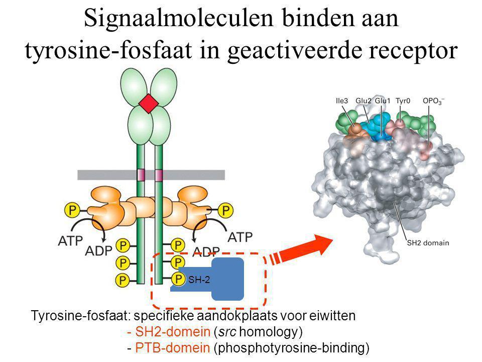 Tyrosine-fosfaat: specifieke aandokplaats voor eiwitten - SH2-domein (src homology) - PTB-domein (phosphotyrosine-binding) SH-2 Signaalmoleculen binde