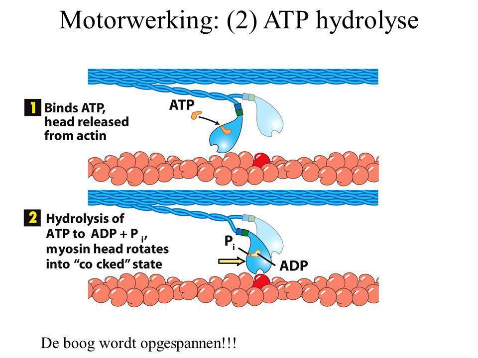 Motorwerking: (2) ATP hydrolyse De boog wordt opgespannen!!!