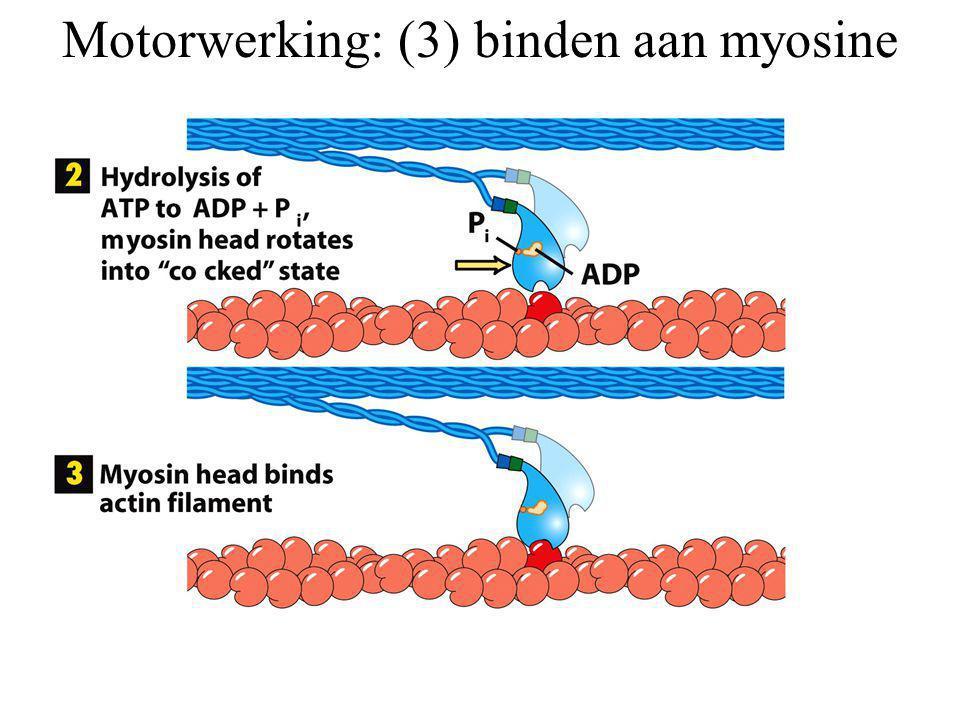 Motorwerking: (3) binden aan myosine