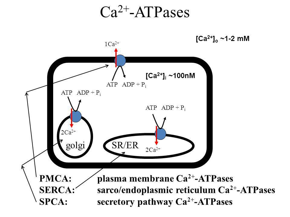 Ca 2+ -ATPases SR/ERgolgi 1Ca 2+ ATP ADP + P i PMCA: plasma membrane Ca 2+ -ATPases SERCA: sarco/endoplasmic reticulum Ca 2+ -ATPases SPCA: secretory