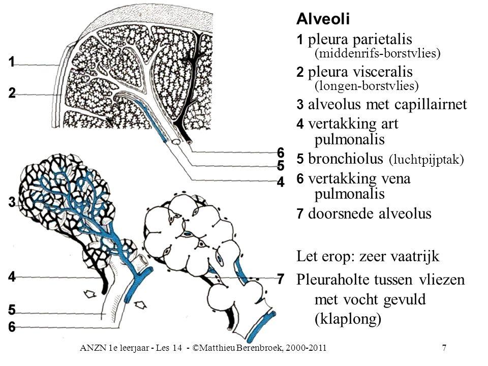 ANZN 1e leerjaar - Les 14 - ©Matthieu Berenbroek, 2000-20117 Alveoli 1 pleura parietalis (middenrifs-borstvlies) 2 pleura visceralis (longen-borstvlie
