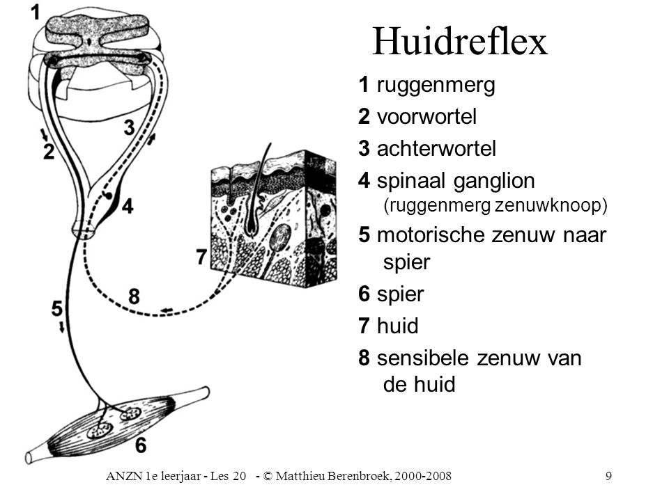 ANZN 1e leerjaar - Les 20 - © Matthieu Berenbroek, 2000-20089 Huidreflex 1 ruggenmerg 2 voorwortel 3 achterwortel 4 spinaal ganglion (ruggenmerg zenuwknoop) 5 motorische zenuw naar spier 6 spier 7 huid 8 sensibele zenuw van de huid