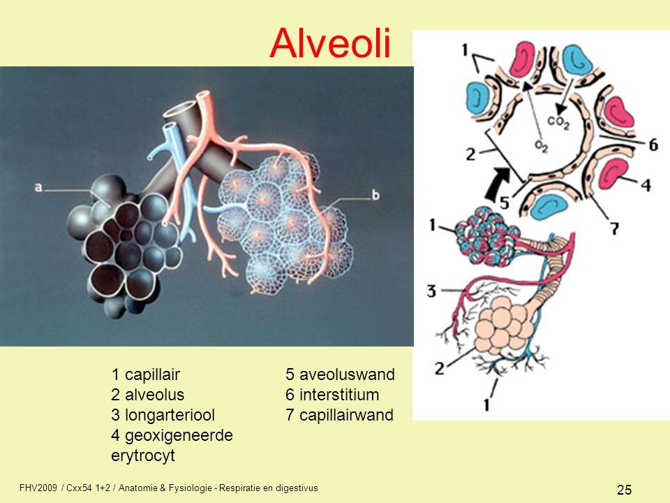 FHV2009 / Cxx54 1+2 / Anatomie & Fysiologie - Respiratie en digestivus 25 Alveoli 1 capillair 2 alveolus 3 longarteriool 4 geoxigeneerde erytrocyt 5 a