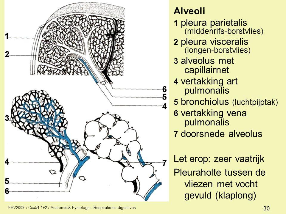 FHV2009 / Cxx54 1+2 / Anatomie & Fysiologie - Respiratie en digestivus 30 Alveoli 1 pleura parietalis (middenrifs-borstvlies) 2 pleura visceralis (lon