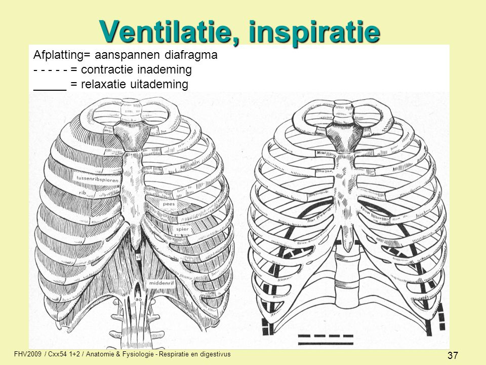 Afplatting= aanspannen diafragma - - - - - = contractie inademing _____ = relaxatie uitademing FHV2009 / Cxx54 1+2 / Anatomie & Fysiologie - Respirati