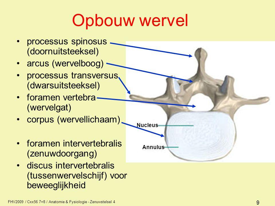 FHV2009 / Cxx56 7+8 / Anatomie & Fysiologie - Zenuwstelsel 4 10 Hernia nucleï pulposi tussenwervelschijf ruggenmerg zenuw Gescheurde schijf Tussenwervelschijf oefent druk uit op de zenuwtak van de uittredende zenuw.
