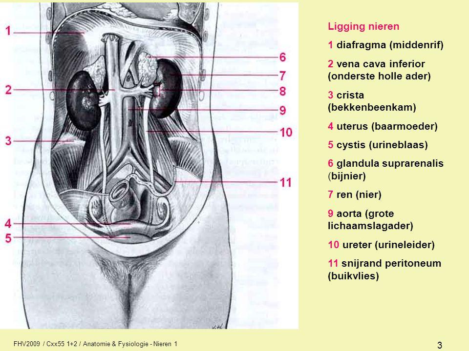 FHV2009 / Cxx55 1+2 / Anatomie & Fysiologie - Nieren 1 3 Ligging nieren 1 diafragma (middenrif) 2 vena cava inferior (onderste holle ader) 3 crista (b