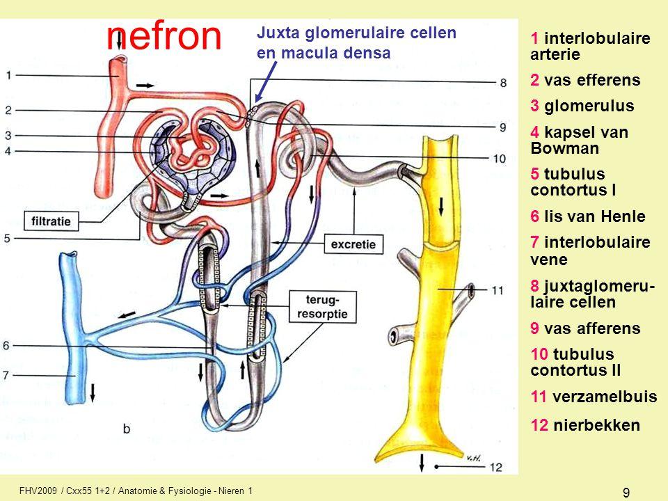 FHV2009 / Cxx55 1+2 / Anatomie & Fysiologie - Nieren 1 9 1 interlobulaire arterie 2 vas efferens 3 glomerulus 4 kapsel van Bowman 5 tubulus contortus