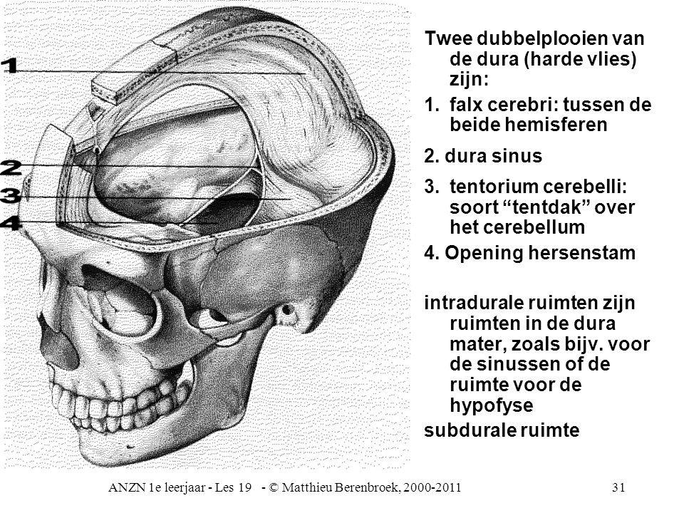 ANZN 1e leerjaar - Les 19 - © Matthieu Berenbroek, 2000-201131 Twee dubbelplooien van de dura (harde vlies) zijn: 1.falx cerebri: tussen de beide hemi