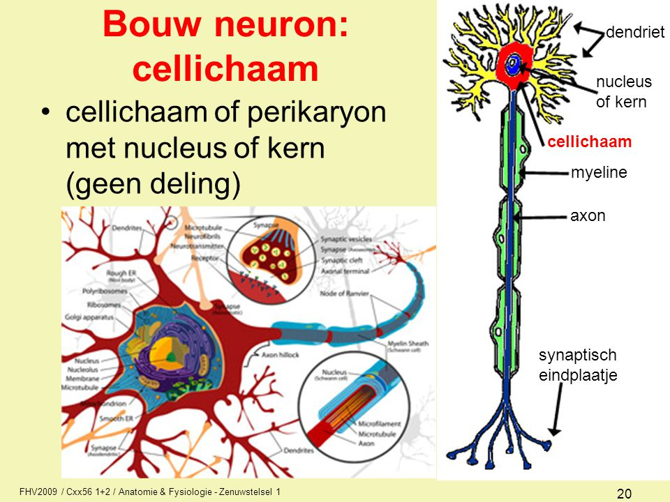 FHV2009 / Cxx56 1+2 / Anatomie & Fysiologie - Zenuwstelsel 1 20 Bouw neuron: cellichaam cellichaam of perikaryon met nucleus of kern (geen deling) den
