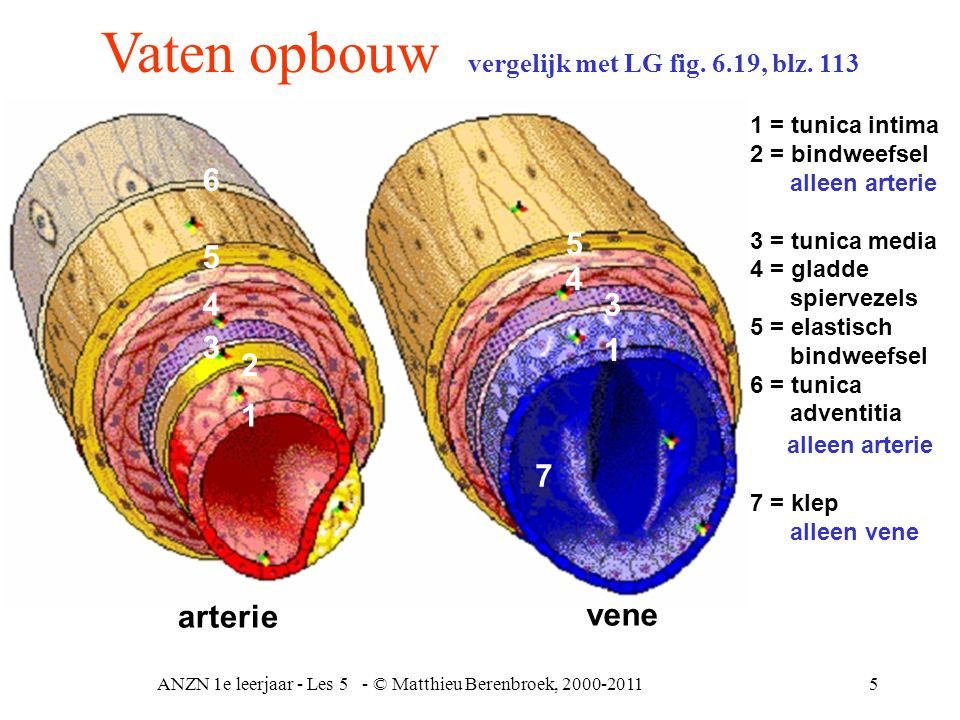 ANZN 1e leerjaar - Les 5 - © Matthieu Berenbroek, 2000-20115 Vaten opbouw vergelijk met LG fig. 6.19, blz. 113 1 = tunica intima 2 = bindweefsel allee