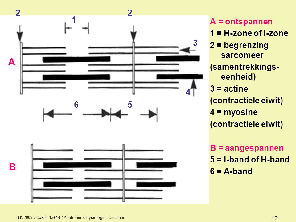FHV2009 / Cxx53 13+14 / Anatomie & Fysiologie - Circulatie 12 A = ontspannen 1 = H-zone of I-zone 2 = begrenzing sarcomeer (samentrekkings- eenheid) 3