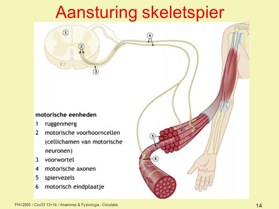 FHV2009 / Cxx53 13+14 / Anatomie & Fysiologie - Circulatie 14 Aansturing skeletspier