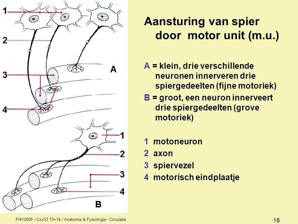 FHV2009 / Cxx53 13+14 / Anatomie & Fysiologie - Circulatie 16 Aansturing van spier door motor unit (m.u.) A = klein, drie verschillende neuronen inner