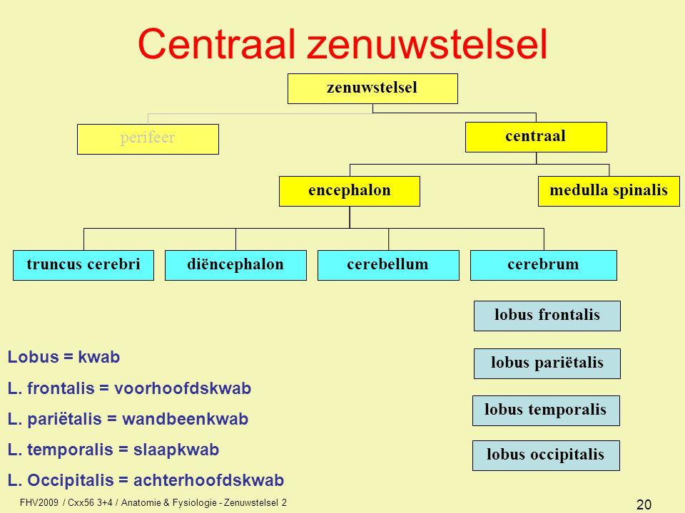 FHV2009 / Cxx56 3+4 / Anatomie & Fysiologie - Zenuwstelsel 2 20 Centraal zenuwstelsel zenuwstelsel perifeer centraal encephalonmedulla spinalis diënce