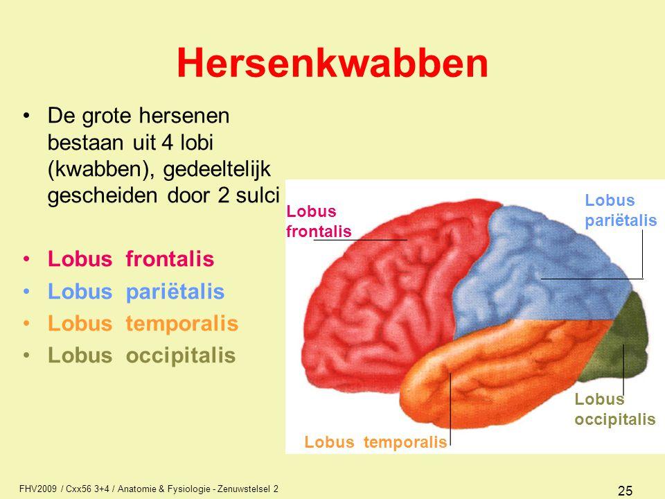 FHV2009 / Cxx56 3+4 / Anatomie & Fysiologie - Zenuwstelsel 2 25 Hersenkwabben De grote hersenen bestaan uit 4 lobi (kwabben), gedeeltelijk gescheiden