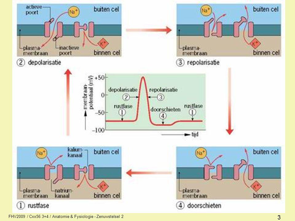 4 Voortplanting impuls hierdoor celinwendige positief (actiepotentiaal)- (spanningsgereguleerd) door enzymatische pomp (Na/K- pomp) weer naar rust (repolarisatie) tijdens refractaire periode is geen prikkel op te wekken Door prikkeling van de membraan verandert permeabiliteit