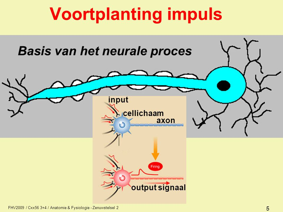 FHV2009 / Cxx56 3+4 / Anatomie & Fysiologie - Zenuwstelsel 2 5 Voortplanting impuls Basis van het neurale proces input cellichaam axon output signaal