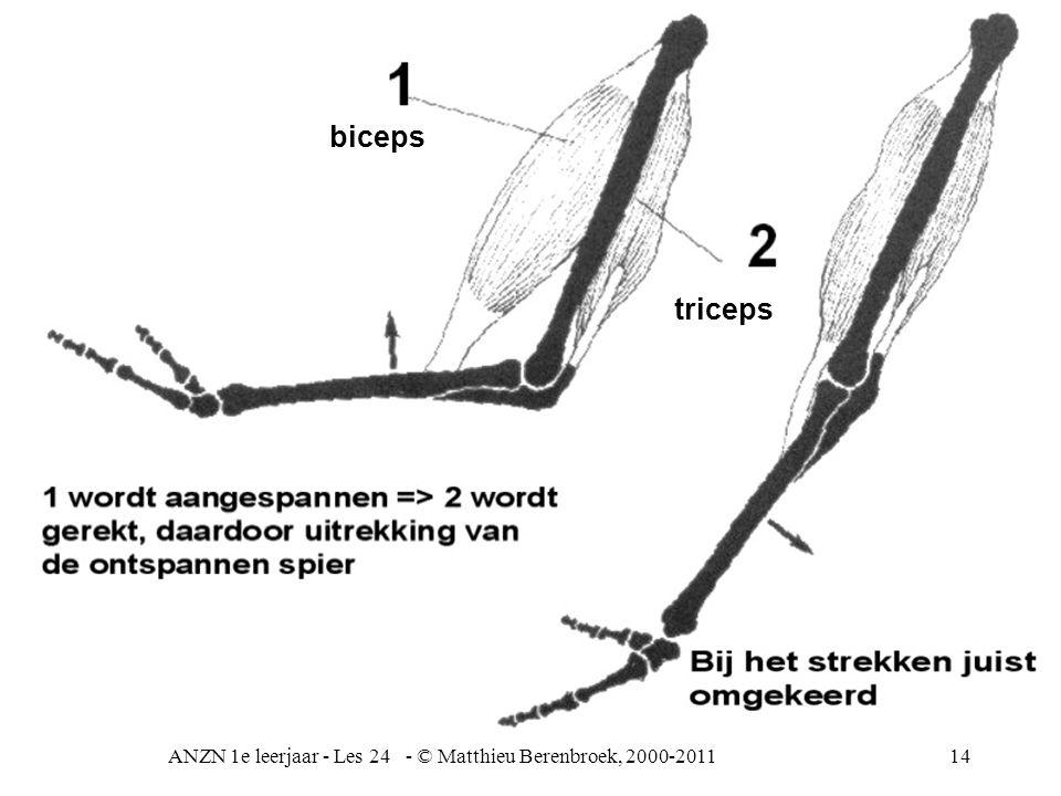 ANZN 1e leerjaar - Les 24 - © Matthieu Berenbroek, 2000-201114 biceps triceps